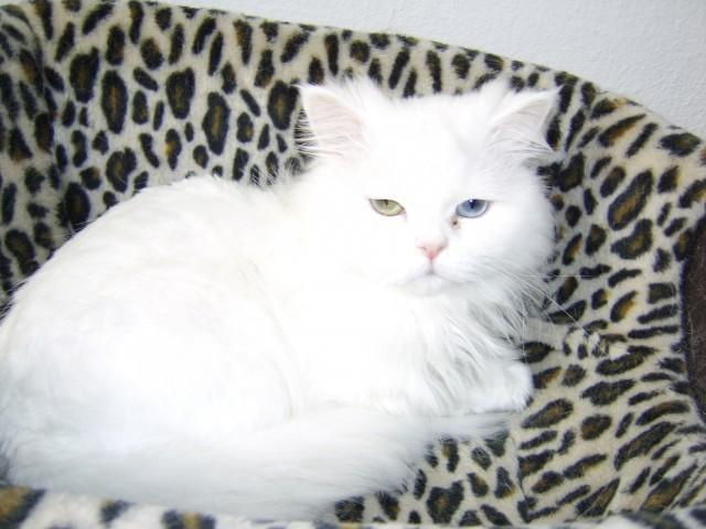 Schneeweisser Chinchilla Perser Deckkater Katzen Kleinanzeigen Net